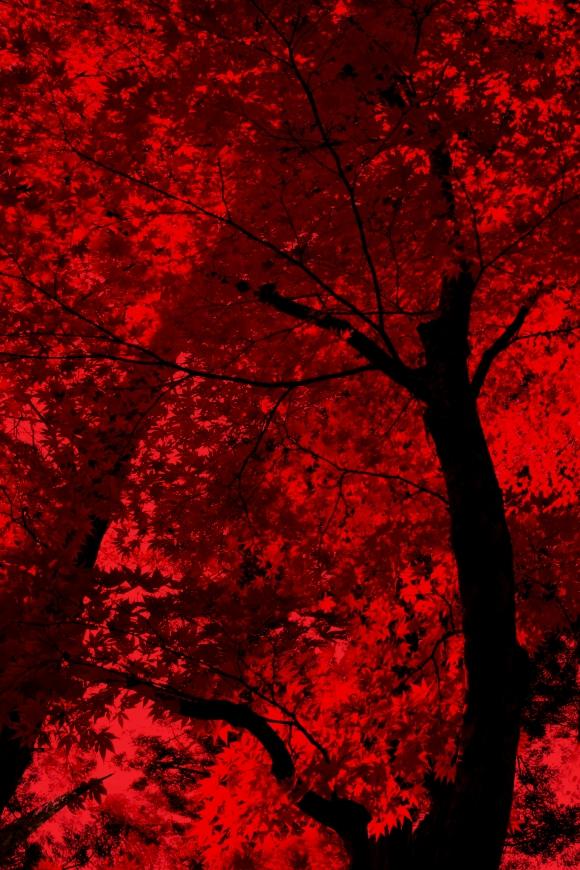 Red Autumn Maple