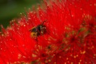 A honey bee burrowing into red flowers.