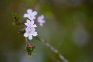 A juvenile sakura blossoming in late May.
