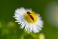 A tiny pupa searches for pollen on a flower smaller than a dime.
