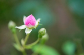 A pink bud, with extended sepals.