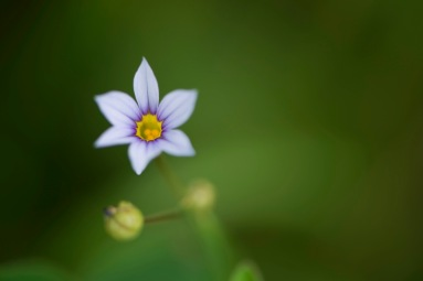 Purple petals, and yellow ovule of a wildflower tinier than a button.