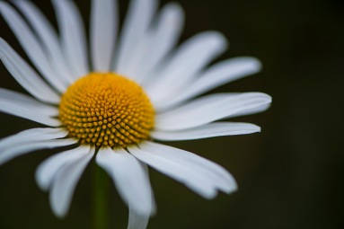 White petals, and yellow anther.